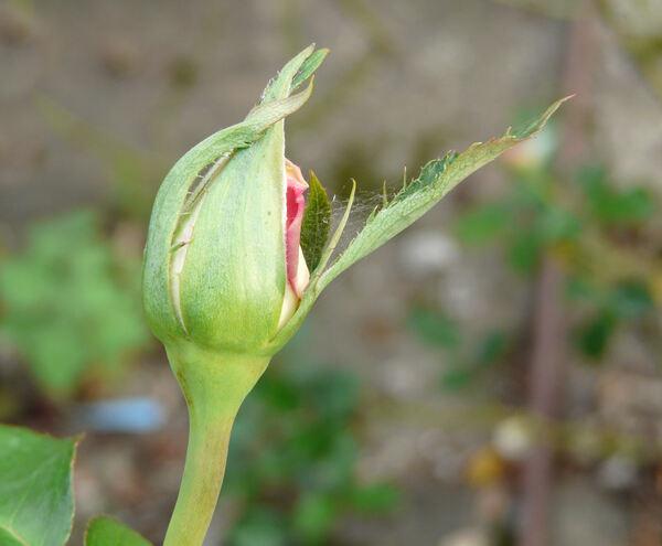 Rosa 'Tourmaline ®'