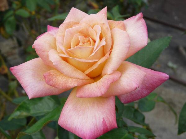 Rosa 'Antigone ®'