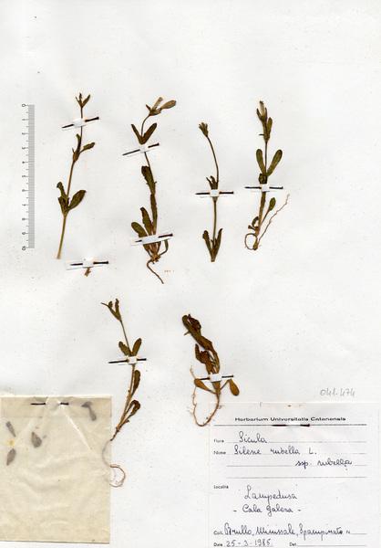 Silene diversifolia Otth