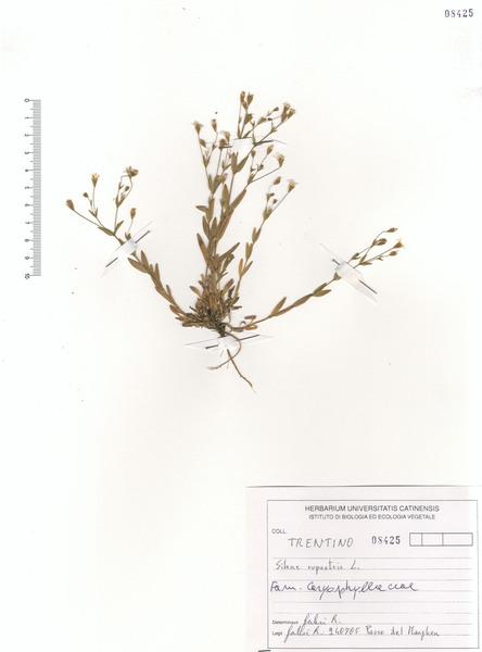 Atocion rupestre (L.) Oxelman