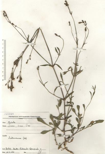Silene italica (L.) Pers. subsp. sicula (Ucria) Jeanm.
