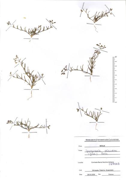 Spergularia diandra (Guss.) Heldr.
