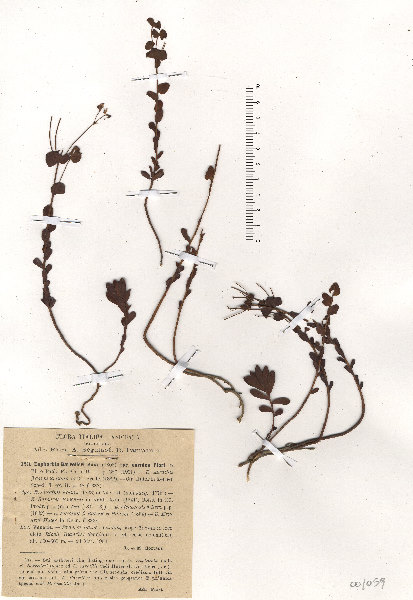 Euphorbia kerneri Huter