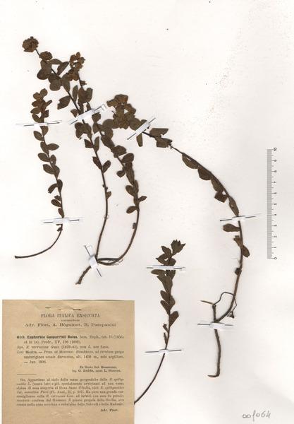 Euphorbia gasparrinii Boiss. subsp. gasparrinii