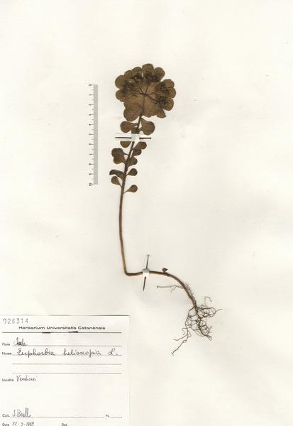 Euphorbia helioscopia L. subsp. helioscopia