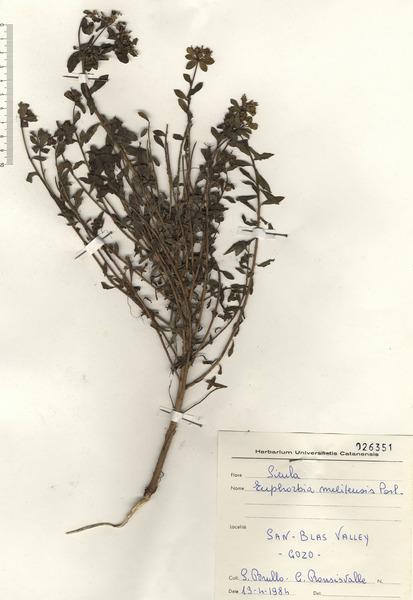 Euphorbia melitensis Parl.
