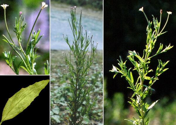 Epilobium tetragonum L. subsp. tetragonum