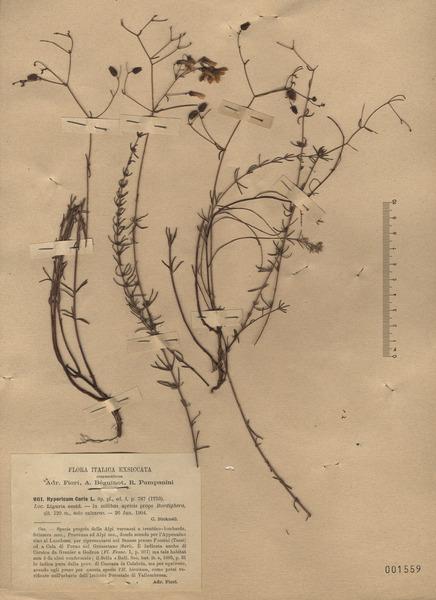 Hypericum coris L.