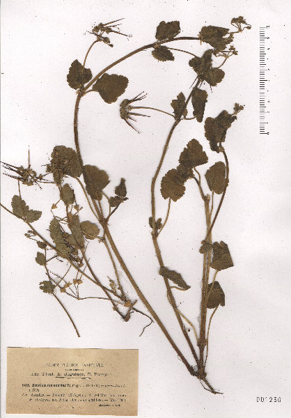 Erodium malacoides (L.) L'Hér. subsp. malacoides