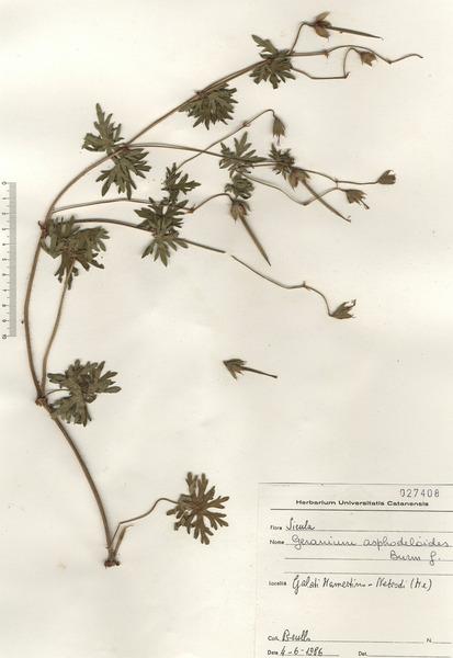 Geranium asphodeloides Burm.f. subsp. asphodeloides