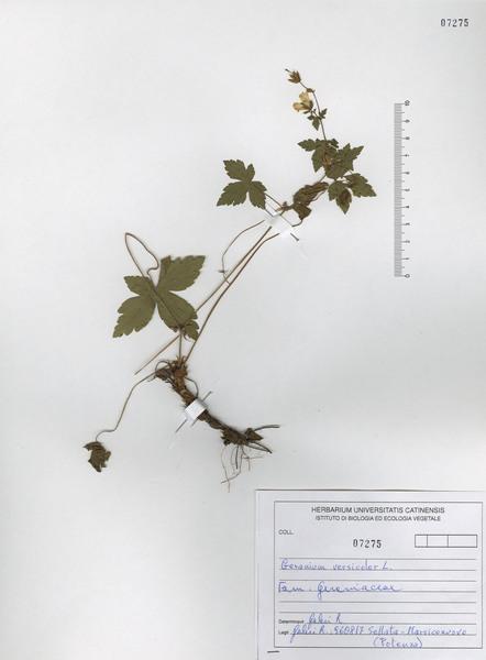 Geranium versicolor L.