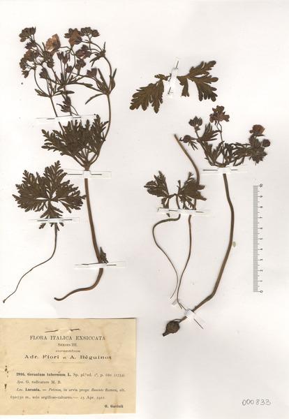 Geranium tuberosum L. subsp. tuberosum