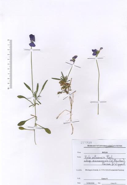 Viola aethnensis (Ging. & DC.) Strobl subsp. messanensis (W.Becker) Merxm. & Lippert