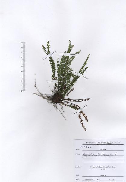Asplenium trichomanes L.