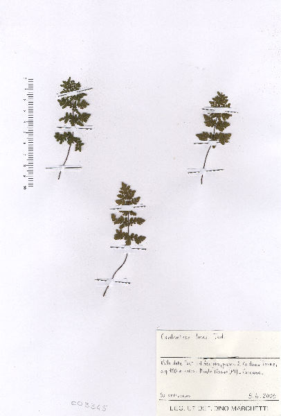Oeosporangium tinaei (Tod.) Fraser-Jenk.