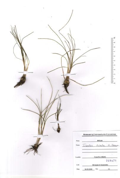 Isoëtes longissima Bory