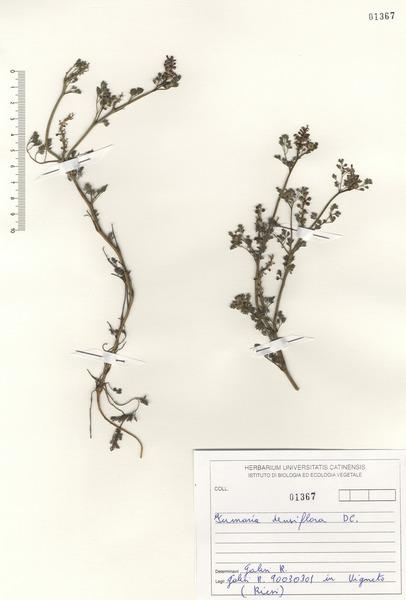 Fumaria densiflora DC.