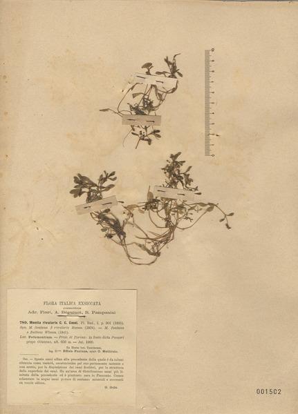 Montia fontana L.