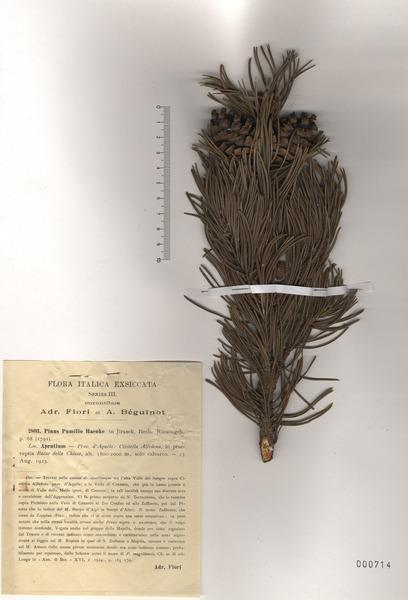 Pinus mugo Turra