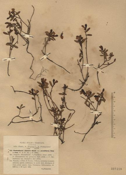 Polygala chamaebuxus L.