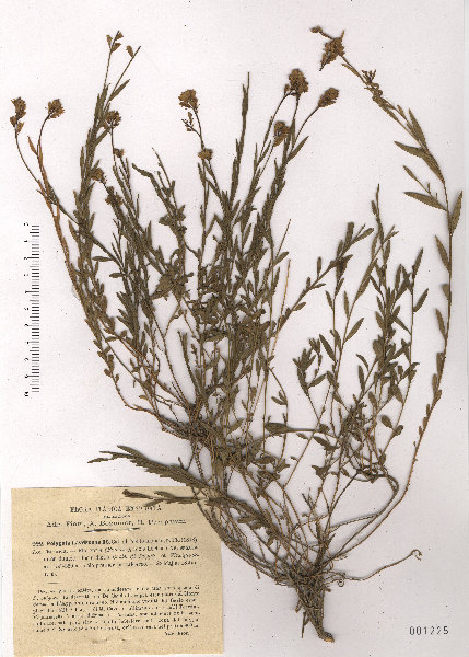 Polygala flavescens DC. subsp. flavescens