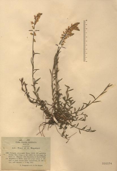 Polygala nicaeensis Risso ex W.D.J.Koch subsp. nicaeensis