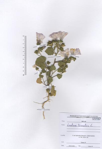 Malva trimestris (L.) Salisb.