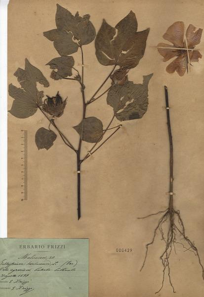 Gossypium herbaceum L. subsp. herbaceum