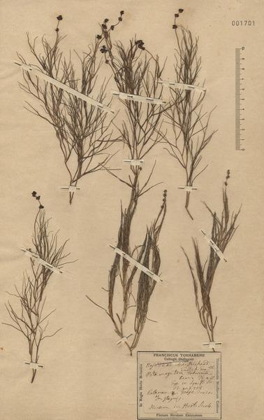 Potamogeton trichoides Cham. & Schltdl.