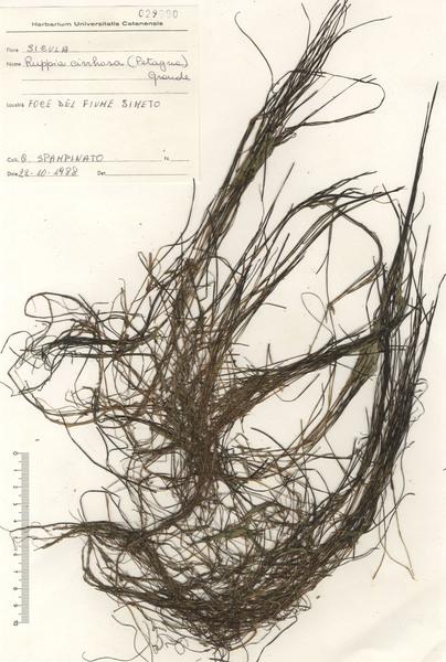 Ruppia spiralis L. ex Dumort.