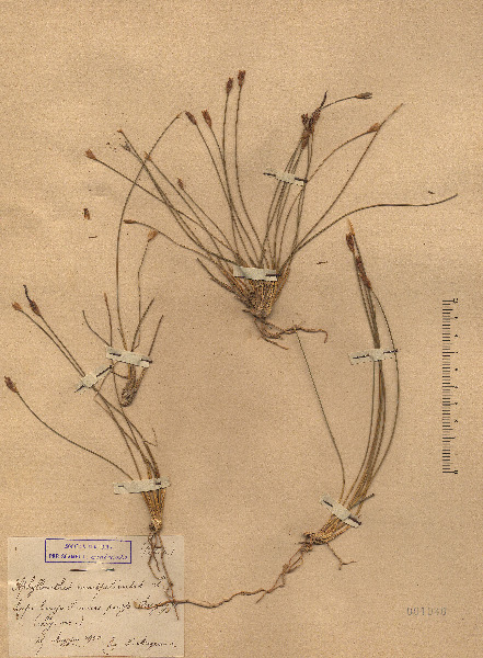 Aphyllanthes monspeliensis L.