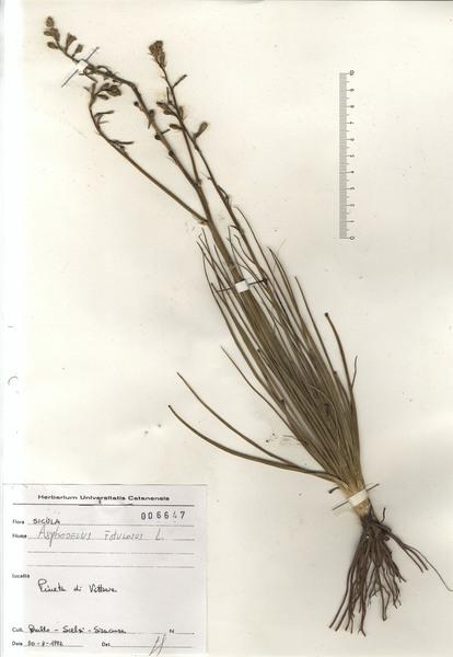 Asphodelus fistulosus L.