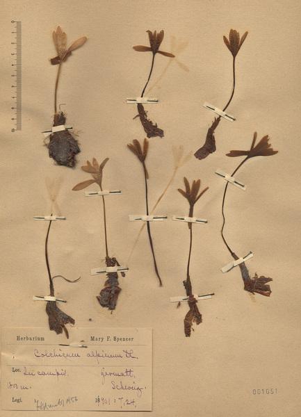 Colchicum alpinum DC.