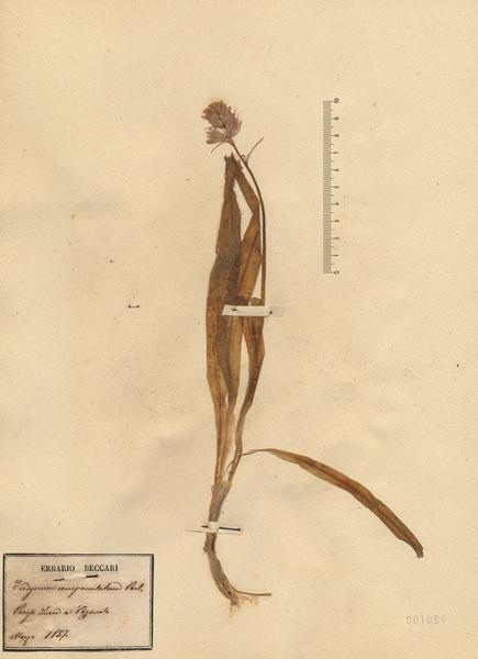 Hyacinthoides hispanica (Mill.) Rothm.