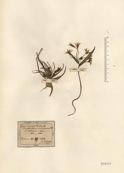 Gagea villosa (M.Bieb.) Sweet