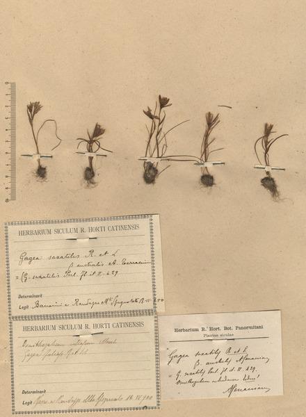 Gagea bohemica (Zauschn.) Schult. & Schult.f.