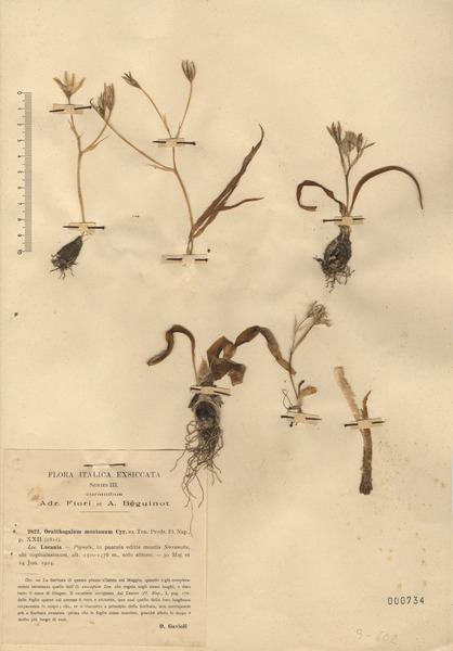 Ornithogalum montanum Ten.