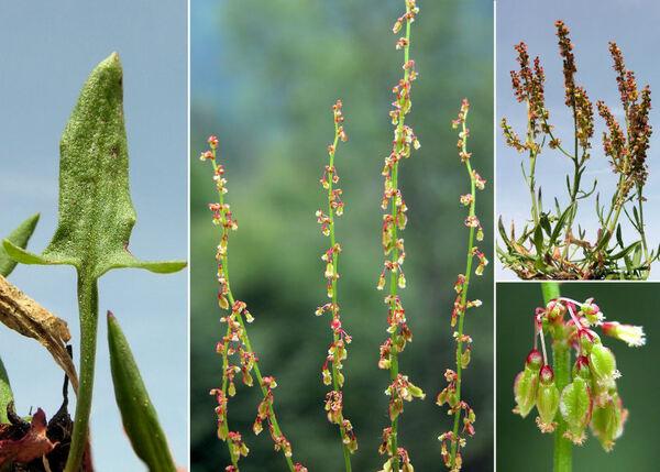 Rumex acetosella L. subsp. acetosella