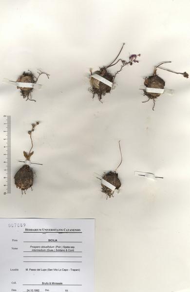 Prospero obtusifolium (Poir.) Speta subsp. intermedium (Guss.) Soldano & F.Conti