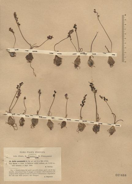 Prospero autumnale (L.) Speta