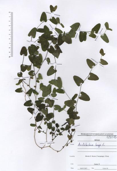 Aristolochia lutea Desf.
