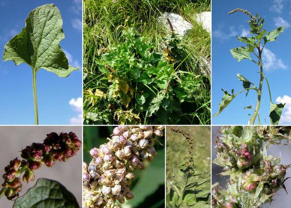 Blitum bonus-henricus (L.) Rchb.