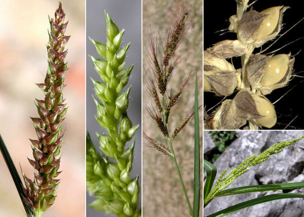 Echinochloa crus-galli (L.) P.Beauv.