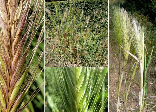 Hordeum murinum L. subsp. murinum