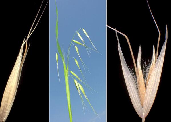 Avena fatua L. subsp. fatua