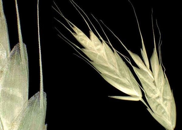 Bromus commutatus Schrad. subsp. commutatus