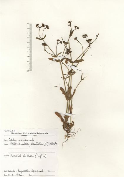 Valerianella dentata (L.) Pollich