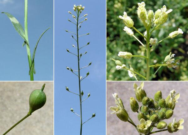 Camelina sativa (L.) Crantz subsp. microcarpa (Andrz. ex DC.) Bonnier