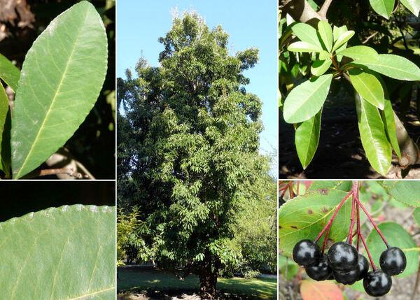 Aronia arbutifolia (L.) Pers.