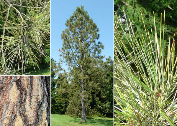 Pinus ponderosa P. Lawson & C. Lawson var. jeffreyi (Balf.) Vasey